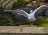 He went that way..... (iantaylor19) Tags: black headed gull
