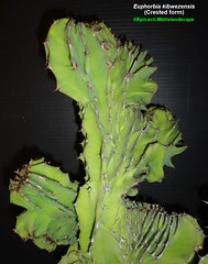 Euphorbia kibwezensis -Crested form (Pic #3 stem growth example) (mattslandscape) Tags: euphorbia kibwezensis form plant crested cristata interesting crest succulents succulent succulenta kenya northeastern tanzania