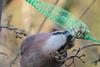 Eichelhäher an der Futterkette - Jay pecking at the feeder chain (riesebusch) Tags: berlin garten marzahn vögel