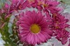 Cold weather dreaming (deanrr) Tags: flower nature petals multipleexposure swirl tonysweet morgancountyalabama alabama 2018 tabletopphotography pink boldcolors 35mm nikkor35mm nikond7100