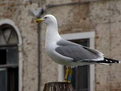 sosta....del gabbiano (AGOSMI) Tags: gabbiano uccello bianco sosta venezia anello occhirossi attesa