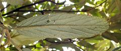Leatherleaf viburnum (Viburnum rhytidophyllum)  leaf under side (shadowshador) Tags: leatherleaf viburnum rhytidophyllum neomura eukaryota archaeplastida plantae plant plants tracheobionta spermatophyta magnoliophyta magnoliopsida asteridae dipsacales adoxaceae taxonomy scientific classification biology botany wildlife life leaf