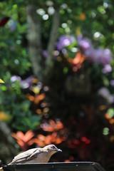 IMG_0966 (raikbeuchler) Tags: birds vögel colombia precolombian tierradientro unescoweltkulturerbe unesco unescoworldheritagesite valledecauca tribes archäologie archeology 2017