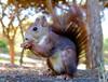 Hey! i'm really cute.... (The all seeing i) Tags: red squirrel reine sofia park guardamar del segura alicante spain flickr fujifilm cute outdoors winter 2017