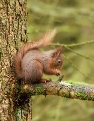 Red Squirrel. (jameskearsley1) Tags: squirrel red redsquirrel hawes nature wildlife countryside nikon nikonphotography nikond3300 tamron150600 tamron150600mm tamron capture shoot closeup
