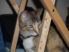 private 018 (lorablong) Tags: westhollywood california cat pet twix