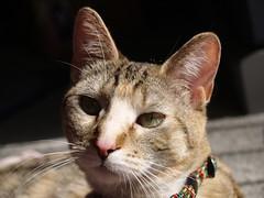 private 039 (lorablong) Tags: westhollywood california cat pet twix