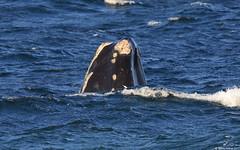 North Atlantic Right Whale (Eubalena glacialis) (Steve Arena) Tags: racepoint racepointpoint provincetown barnstablecounty massachusetts 2017 nikon d750 bird birds birding northatlanticrightwhale eubalenaglacialis