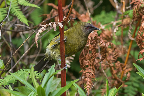 New Zealand Bellbird - New Zealand_FJ0A6991