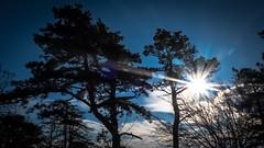wie immer zu Weihnachten die Föhren vom Eichkogel (Dioscorea Mexicana) Tags: mödling eichkogel thermenregion guntramsdorf weihnachten spaziergang sonne föhrenberge föhren sun walk sky himmel star sonnenstern blau silhouette tree trees baum bäume blue black schwarz x30 fujifilm fuji