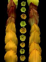 58707.01 Hemerocallis (horticultural art) Tags: horticulturalart hemerocallis daylilies daylily petals sepals buds lines