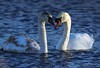 _DSC2511 (AngelPixCn) Tags: angepixcn birds blue cleaning cygnet drop family feathers glow lake marsh nature nikond7100 upclose water wetlands wreeds magor wales unitedkingdom gb