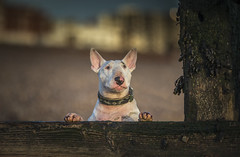 Hebe (Paul`s dog photography) Tags: ebt englishbullterrier
