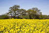 Summer Sunshine Remebered (David Chennell - DavidC.Photography) Tags: rapeseed agriculture spring yellow flowering sunny warmth wirral landican farm field crops