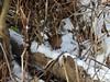 Winter Wren in typical habitat (GoldenEagle754) Tags: dykemarsh alexandria virginia wren winterwren trunk treetrunk trees winter december birdwatching bird birding birder birds wildlife nature outdoor outdoors outside animal creature