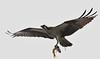 Osprey with catch (kearneyjoe) Tags: osprey virginia lake stjohns