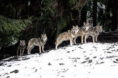 Wolfsrudel - Wolf Pack (vampire-carmen) Tags: wolf wölfe wolves raubtier beastofprey rudel pack wald forest baum tree winter schnee snow tierpark zoo lohberg cham oberpfalz bayern bavaria deutschland germany alemania europe hdr canoneos600d wolwe ujq ተኵላዎች الذئاب գայլեր canavar otso নেকড়ে ဝံပုလွေ vukovi вълци mgalobo mimbulu 狼 ulve lupoj hundid susia loups lobos მგლები λύκοι વરુના chenmawon nailiohae זאבים भेड़ियों serigala úlfar lupi オオカミ וועלף ತೋಳಗಳು қасқырлар សត្វចចក 늑대들 vilkai чоно ब्वाँसा wolven ulver wilki волки madaidheanallaidh vargar หมาป่า sói bleiddiaid