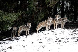 Wolfsrudel - Wolf Pack