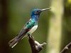 IMG_6320  White-necked Jacobin_hummingbird (ashahmtl) Tags: whiteneckedjacobin bird hummingbird florisugamellivora mindo pichinchaprovince ecuador