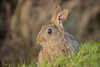 Rabbit (Linda Martin Photography) Tags: dorset rabbit wildlife longhamlakes uk nature coth naturethroughthelens ngc coth5