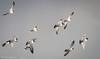 Scholeksters (Paul van Agthoven) Tags: birds birding canon100400 llens usm nederland terschelling nature zoom flight