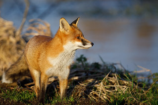 Fox (RSPB Greylake) #4 of 4