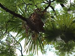 Buttercup Orchid (Cymbidium madidum) (Poytr) Tags: arfp nswrfp qrfp orchid cymbidium epipthye orchidaceae tamban nsw kempseynsw tree cymbidiummadidum subtropicalarfp subtropicalrainforest staghornfern platycerium superbum platyceriumsuperbum polypodaceae forest arfepiphyte polypodiaceae fern