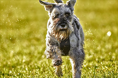 fun run in the sun (Paul Wrights Reserved) Tags: dog pet grass run running sun sunny happy light bokeh