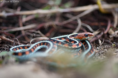 California Red-sided Gartersnake (Thamnophis sirtalis infernalis) (Chad M. Lane) Tags: wildlife wildlifephotography water explore exploring eye reptiles reptile red travel usa outdoor photography animals snakes snake d810 fieldherping fullframe gartersnake california redside herps herping hiking herp herpetology love explorer californiawildlife marincounty nikkor60mmf28d