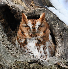 Red Morph Screech Owl (KoolPix) Tags: redmorphscreechowl owl screechowl raptor bird feathers beak tree treetrunk holeintree owlhole birdofprey koolpix jaykoolpix naturephotography nature wildlife wildlifephotos naturephotos naturephotographer animalphotographer wcswebsite nationalgeographic fantasticnature amazingnature wonderfulbirdphotos animal amazingwildlifephotos fantasticnaturephotos incrediblenature naturephotographywildlifephotography wildlifephotographer mothernature