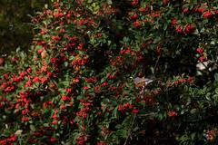 51:52 Dear Robin (Claudia Künkel) Tags: oregon americanrobin bird berries december turdusmigratorius redberries