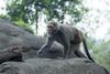 P1220702 (jinkemoole) Tags: japanesemacaque ニホンザル 台北動物園 taipeizoo zoo animal monkey