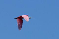 Roseate Spoonbills (c) 2017 Dr. Lester Shalloway, all rights reserved; at Paurotis Pond in the South Everglades