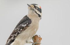 Downy Woodpecker (Picoides pubescens) - Vancouver, BC (bcbirdergirl) Tags: downywoodpecker male picoidespubescens woodpecker downy pecker vancouver bc yardbird yard backyardbirding backyard appletree