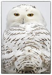 Snowy Owl at B. K. Leach Memorial Conservation Area - No. 5 (Nikon66) Tags: snowyowl owl irruption bkleachmemorialconservationarea lincolncounty missouri nikon d850 600mmnikkor
