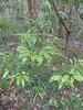 Diospyros pentamera sapling (tanetahi) Tags: native ebony diospyros diospyrospentamera ebenaceae rainforest tree lamingtonnationalpark scenicrim