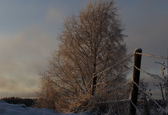 On a winters afternoon (J. Roseen) Tags: sun sunlight sol solljus birch björk cols kallt winter vinter fence staket frost eos7dmkii sunsetlight solnedgångsljus