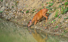 Barking Deer (Muntiacus muntjak) (Steve Arena) Tags: kaengkrachannationalpark tenasserimmountainrange huaimaepriang muntiacusmuntjak barkingdeer httpthailandbirding2017blogspotcom thailandbirding2017 thailandhttpthailandbirding2017blogspotcom2017 bird birds birding 2017 petchaburi phetchaburi nikon d750