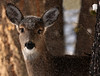 Are you watching me?? (windyhill623) Tags: deer whitetaileddeer fauna ungulate doe snow winter forest outdoor animal cold eastkootenay britishcolumbia canada wildlife