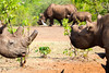 Black Rhinos in Zimbabwe (SteakTaylor) Tags: rhinoceros zimbabwe blackrhino rhino