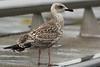 Geelpootmeeuw - Larus michahellis - Yellow-legged Gull (merijnloeve) Tags: geelpootmeeuw larus michahellis yellowlegged gull gulling meeuw meeuwen yellow legged scheveningen