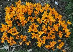 Happy New Year! (Wolfgang Bazer) Tags: clothofgoldcrocus goldbrokatkrokus krokus crocus angustifolius botanischer garten wien botanical garden vienna österreich austria