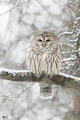 ''Dream day!''Chouette rayée-Barred owl strix varia (pascaleforest) Tags: owl neige snow wild wildlife faune animal nikon winter hiver passion oiseau bird québec canada hibou nature