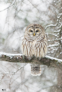 ''Dream day!''Chouette rayée-Barred owl strix varia