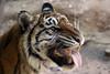 Stinkface! (smileybears) Tags: zooatlanta tiger sumatrantiger chelsea bigcats