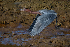Reddish egret take-off (bodro) Tags: bolsachica bird birdinflight birdphotography brightlight ecologicalreserve egret featherdetails reddish shallows takeoff wetlands