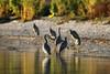 Pauatahanui Inlet (whitebear100) Tags: whitefacedheron pauatahanui pauatahanuiinlet porirua nz newzealand northisland 2017