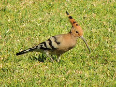 Houdhoud EXPLORED! (Shahrazad26) Tags: hop houdhoud mamounia marrakech morocco marokko maroc bird vogel oiseau hoopoe