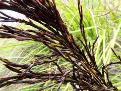 Sheaf of seeds (jo.elphick) Tags: ulladulla nsw australia australian native bush grass seeds