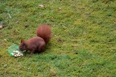 Eichhörnchen (p.schmal) Tags: olympuspenf hamburg farmsenberne eichhörnchen
